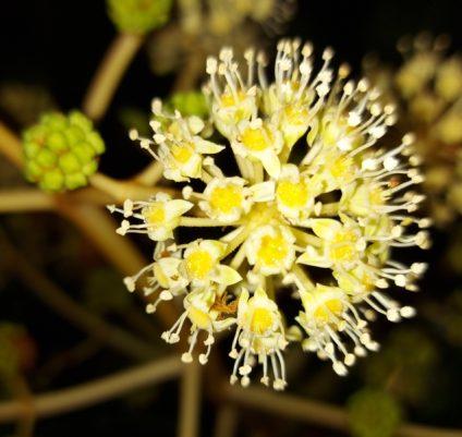Virusähnliche Blüte