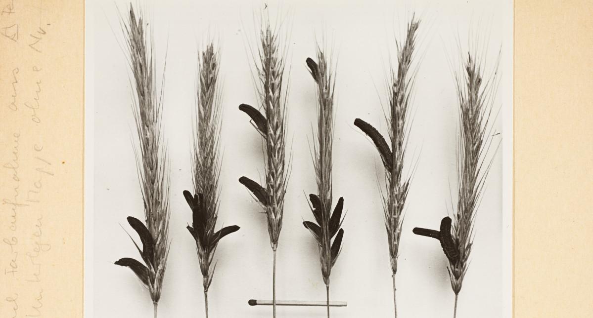 Die Abbildung zeigt Roggenähren mit Mutterkorn