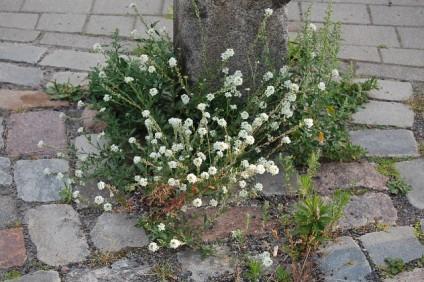 pollerflora-neu-karow