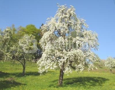 Birnbaum am Bodensee-pixelio-de