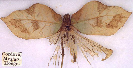 anommatoptera-hoege