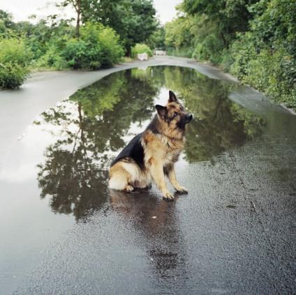 blinder-schaeferhund