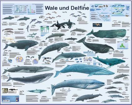 wale-delfine