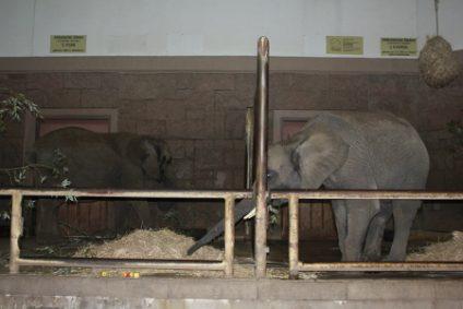 elefant-afrikanische-elefantenb