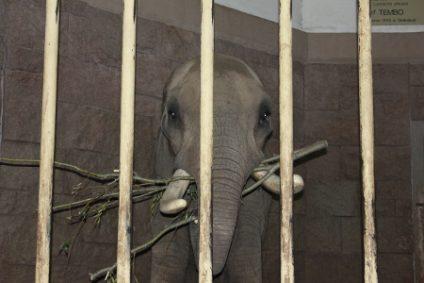 elefantenbulle-afrikanischerb