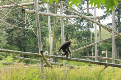 gibbon5b
