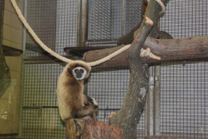 gibbonb