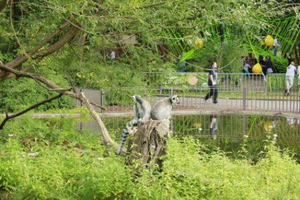 katta-lemuren2b