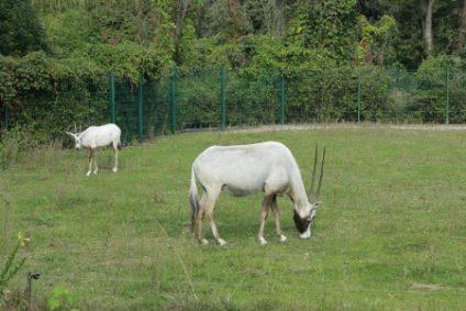 oryx-arabische-oryx-antilopeb