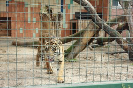 sumatra-tigerb