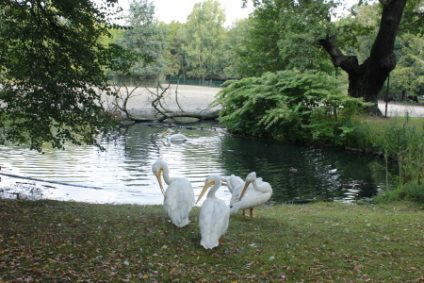 weisse-pelikane2b