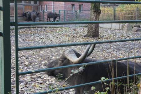 Der schwarze Stier schwängert