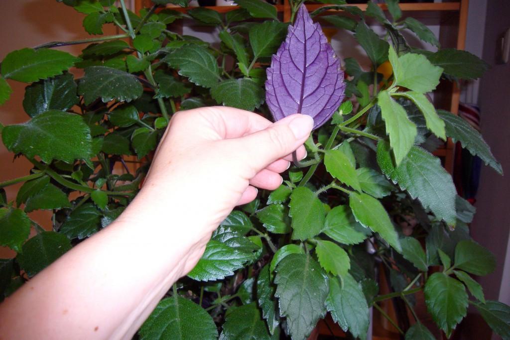Mottenkönig-Blatt, Plectranthus fruticosus, Foto: Barbara Kalender