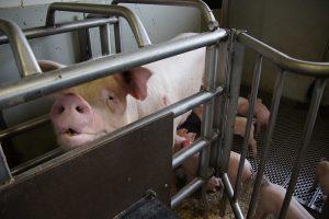 Mutterschwein im Kastenstand Foto: Jonas Ingold